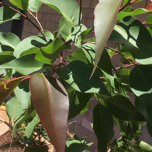 Eucalyptus Tereticornis