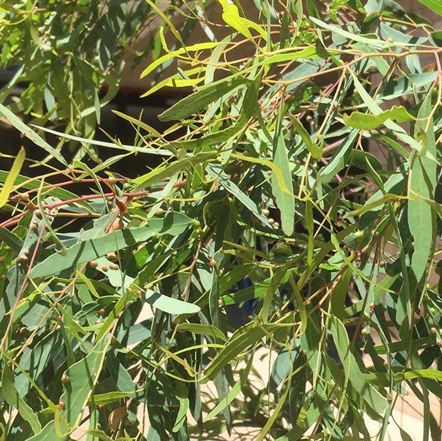 Eucalyptus parramattensis